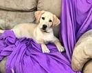 Labrador Retriever Puppy For Sale in WINTON, CA