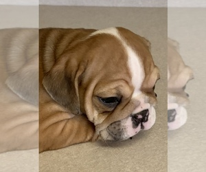 Bulldog Puppy for Sale in LOUISVILLE, Kentucky USA
