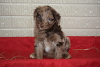 Aussiedoodle Puppy For Sale in FREDERICKSBURG, Ohio,
