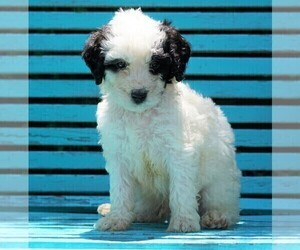 Puppyfinder com: Miniature Bernedoodle puppies puppies for sale near