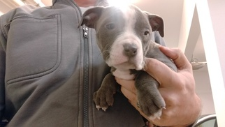 American Pit Bull Terrier Puppy For Sale in BELLINGHAM, WA