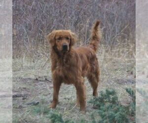 Father of the Golden Retriever puppies born on 11/15/2020