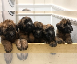 Soft Coated Wheaten Terrier Puppy for Sale in CLEARWATER, Florida USA