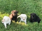 Labrador Retriever Puppy For Sale in LEASBURG, MO, USA