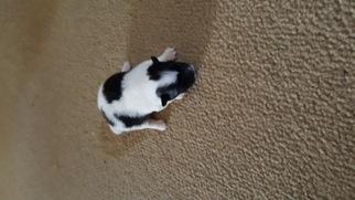 Pomeranian Puppy For Sale in OCHELATA, OK