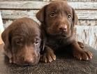 Labrador Retriever Puppy For Sale in BOWIE, Texas,
