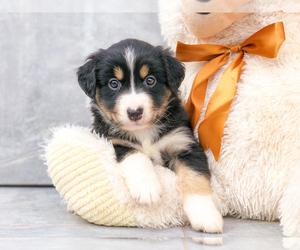 Miniature Australian Shepherd Puppy for sale in CLEVELAND, NC, USA