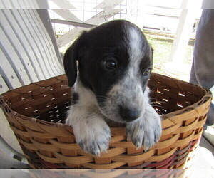 Cattle Collie Dog Puppy for sale in INDIANAPOLIS, IN, USA