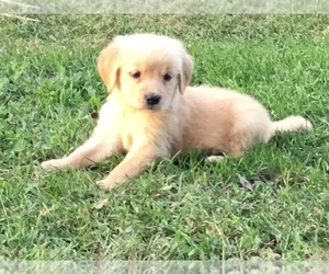 Golden Retriever Puppy for Sale in MENDOTA, Illinois USA