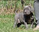 Neapolitan Mastiff Dog For Adoption near 75252, Dallas, TX, USA