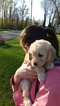 Labradoodle Puppy For Sale in EPHRATA, PA