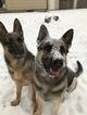 German Shepherd Dog Puppy For Sale in UNCASVILLE, CT
