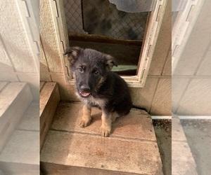 German Shepherd Dog Puppy for Sale in FRISCO, Texas USA