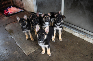 View Ad German Shepherd Dog Siberian Husky Mix Puppy For Sale Near