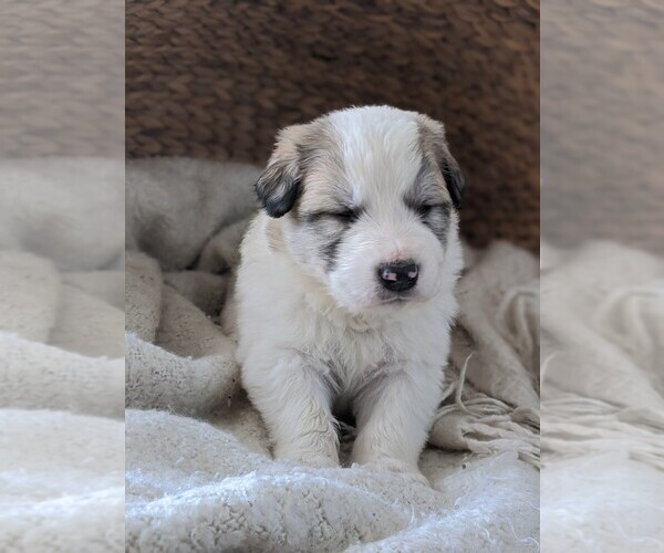Medium Photo #53 Great Pyrenees Puppy For Sale in FALCON, CO, USA