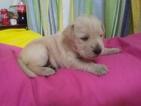 Bulldog-Schnauzer (Miniature) Mix Dog For Adoption in MOBILE, AL, USA