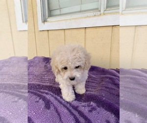 Poodle (Toy) Puppy for sale in CHOWCHILLA, CA, USA