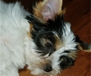 Biewer Terrier Dog for Adoption in SARASOTA, Florida USA