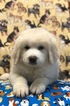 Great Pyrenees Puppy For Sale in ARCADIA, LA, USA
