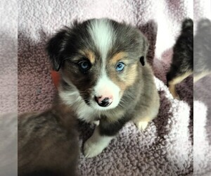Australian Shepherd Dog for Adoption in BUCKLEY, Washington USA