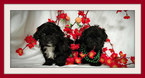 Mal-Shi-Shih Tzu Mix Puppy For Sale in SAN JOSE, CA, USA