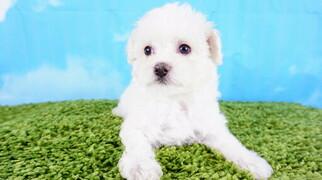 Maltipoo Puppy Female Lexi