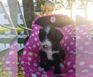 Bordoodle Puppy for sale in HAZLETON, IA, USA