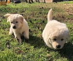 Small #2 Golden Pyrenees