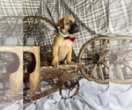 Puppy 7 Bullmastiff