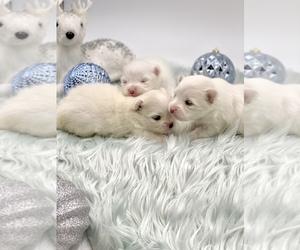 Pomeranian Puppy for Sale in STKN, California USA