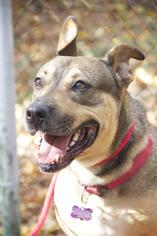 Roxy - Shepherd / Rottweiler / Mixed (short coat) Dog For Adoption
