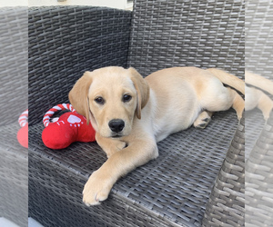 Golden Labrador Puppy for sale in ROSWELL, GA, USA