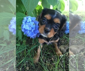 Cavalier King Charles Spaniel Puppy for sale in RUSSELLVILLE, AR, USA