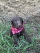 Labrador Retriever Puppy For Sale in SARAH, MS, USA