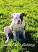 American Bulldog Puppy For Sale in VERNAL, UT, USA
