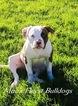 American Bulldog Puppy For Sale in VERNAL, UT, USA