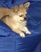 Small #22 Chihuahua