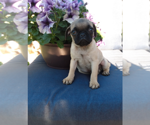 Pug Puppy for sale in INDIANAPOLIS, IN, USA