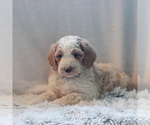 Small #2 Goldendoodle-Poodle (Standard) Mix