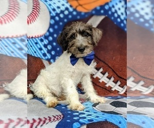 Jack-A-Poo Puppy for sale in COCHRANVILLE, PA, USA