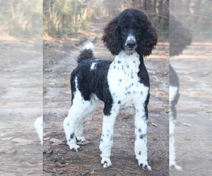 Poodle (Standard) Puppy for sale in KINGSPORT, TN, USA