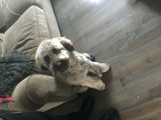 Labrador Retriever-Poodle (Toy) Mix Puppy for sale in ACCOKEEK, MD, USA