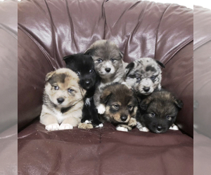 Pomsky Puppy for Sale in MARTINSBURG, West Virginia USA