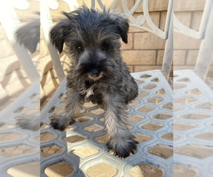 Schnauzer (Miniature) Puppy for sale in RIVERSIDE, CA, USA