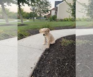 Golden Retriever Dog for Adoption in PLAINFIELD, Illinois USA