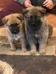 German Shepherd Dog-Wolf Hybrid Mix Puppy For Sale in BALD KNOB, AR, USA
