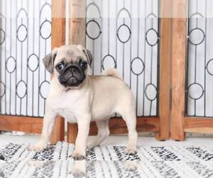 Pug Puppies for Sale near Brooksville, Florida, USA, Page 1