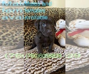 Labrador Retriever Puppy for sale in HESPERIA, CA, USA