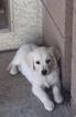 Puppy 4 Golden Retriever