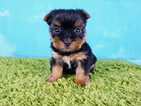 Yorkshire Terrier Female Zoe Tcup